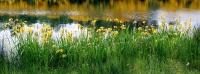 <i>Iris pseudacorus</i> photo