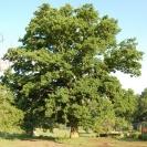 <i>Quercus robur</i> photo