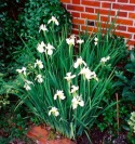 <i>Iris sibirica</i> photo
