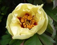 <i>Paeonia lutea</i> photo