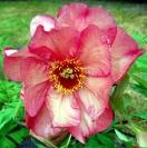 <i>Paeonia suffruticosa</i> photo