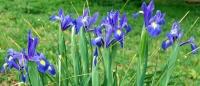 <i>Iris xiphium</i> photo