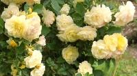 <i>Rosa</i> x 'Comtesse du Barry' photo