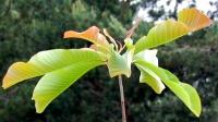 <i>Magnolia obovata</i> photo